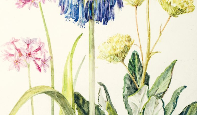 Kirstenbosch Celebrates Botanical Illustrator, Lady Cynthia Tait